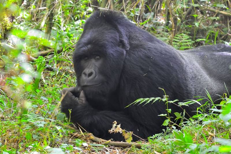 A gorilla in Mgahinga National Park